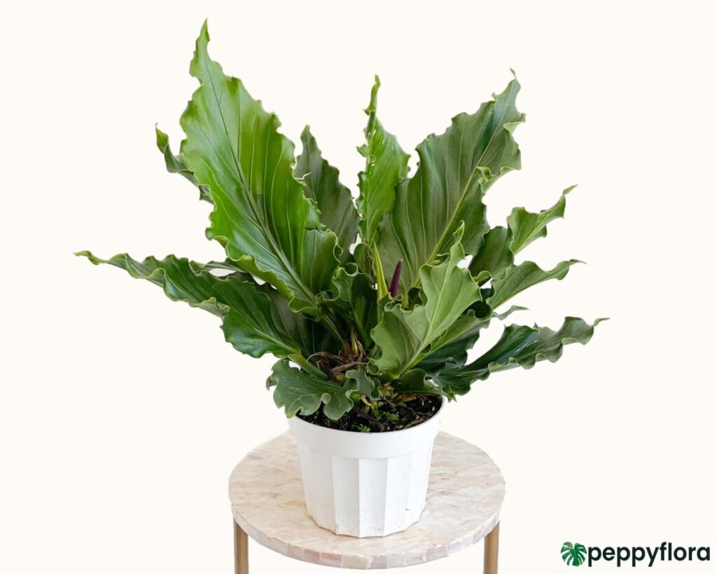 Anthurium-Plowmanii-Product-Peppyflora-02-Moz