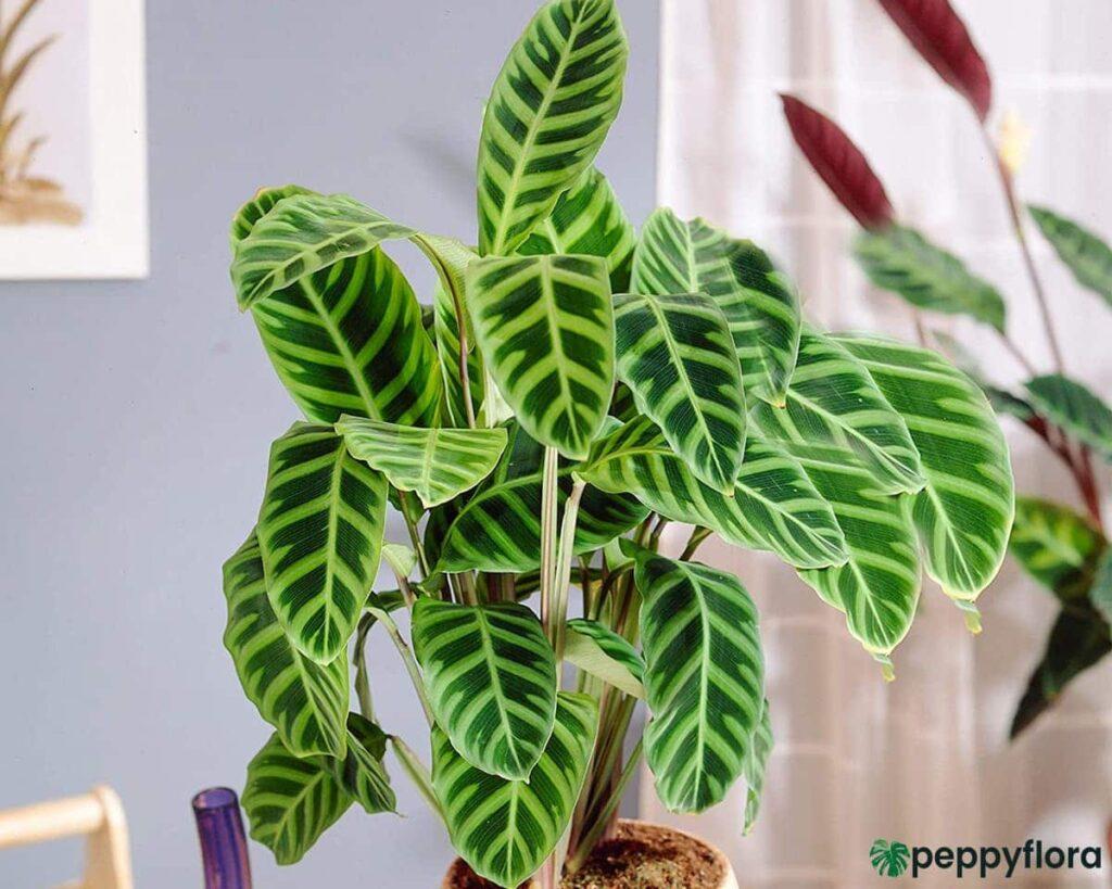 Calathea-Zebrina-Product-Peppyflora-02-Moz