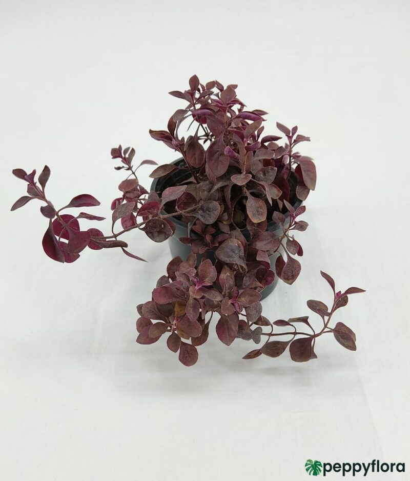Duranta-Red-Product-Peppyflora-01-a-Moz