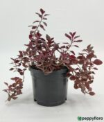 Duranta-Red-Product-Peppyflora-01-b-Moz