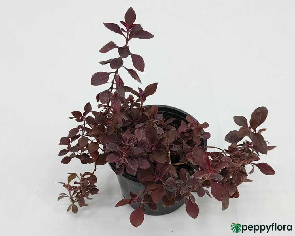 Duranta-Red-Product-Peppyflora-02-Moz