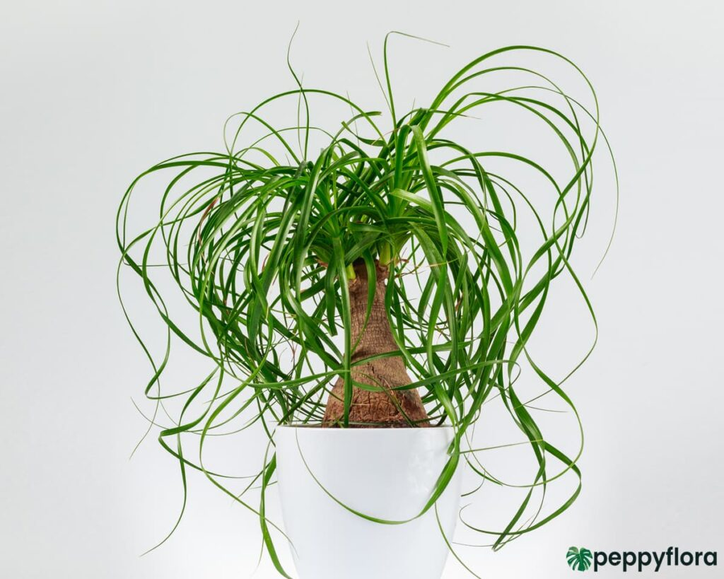 Nolina-Palm-Ponytail-Palm-Product-Peppyflora-02-Moz
