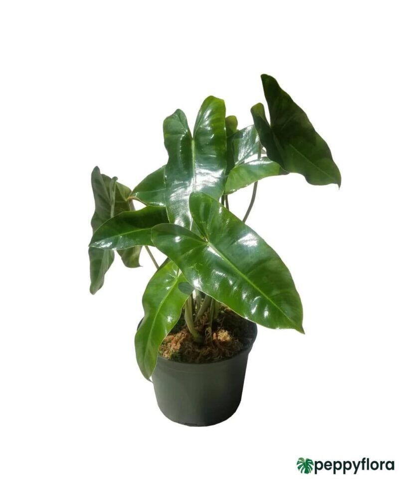 Philodendron-Burle-Marx-Product-Peppyflora-01-f-Moz