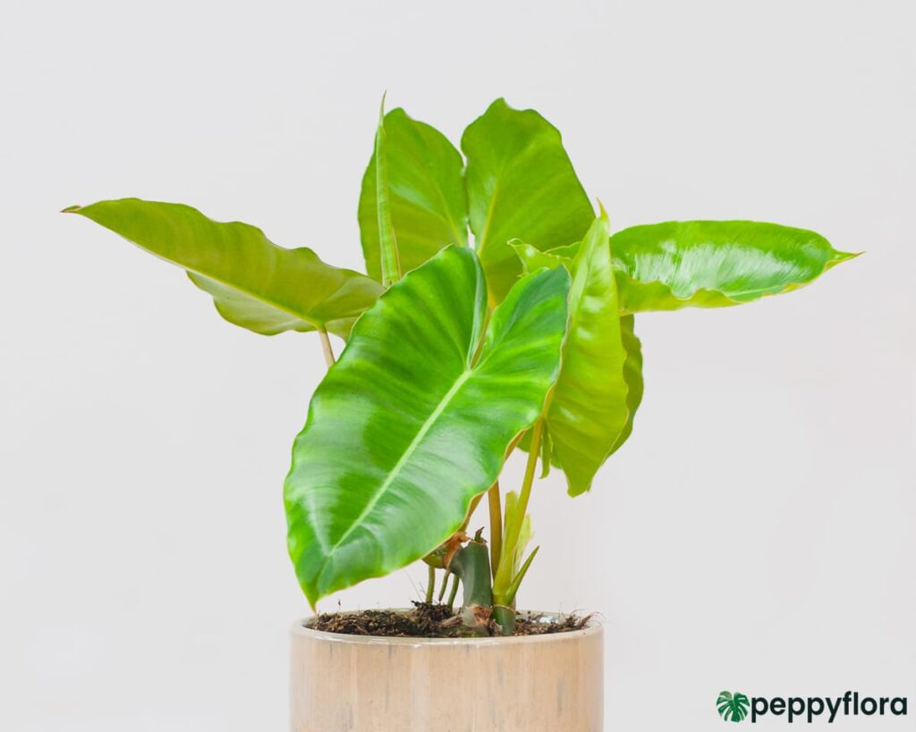 Philodendron-Burle-Marx-Product-Peppyflora-02-a-Moz