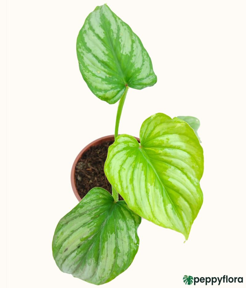 Philodendron-Mamei-Product-Peppyflora-01-a-Moz