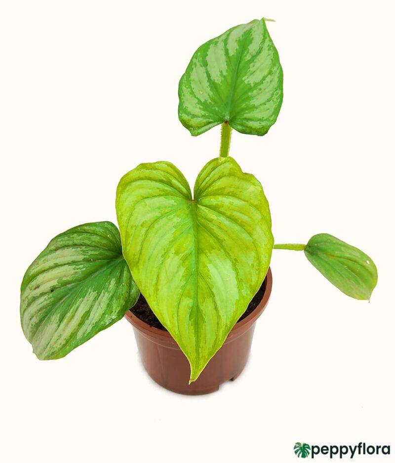 Philodendron-Mamei-Product-Peppyflora-01-b-Moz
