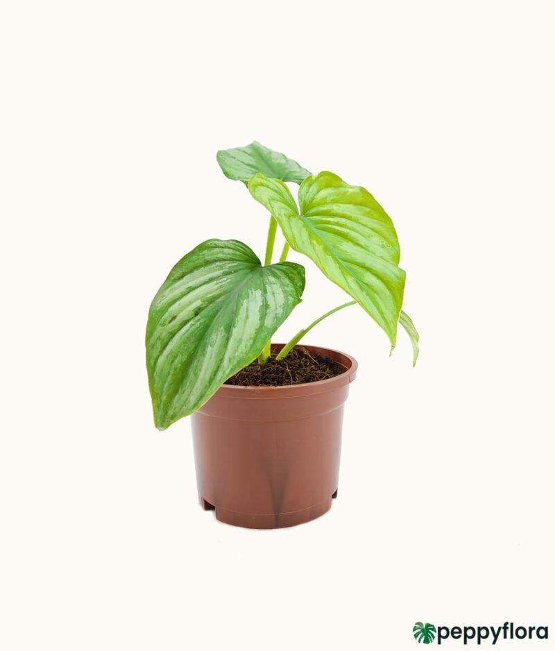 Philodendron-Mamei-Product-Peppyflora-01-c-Moz