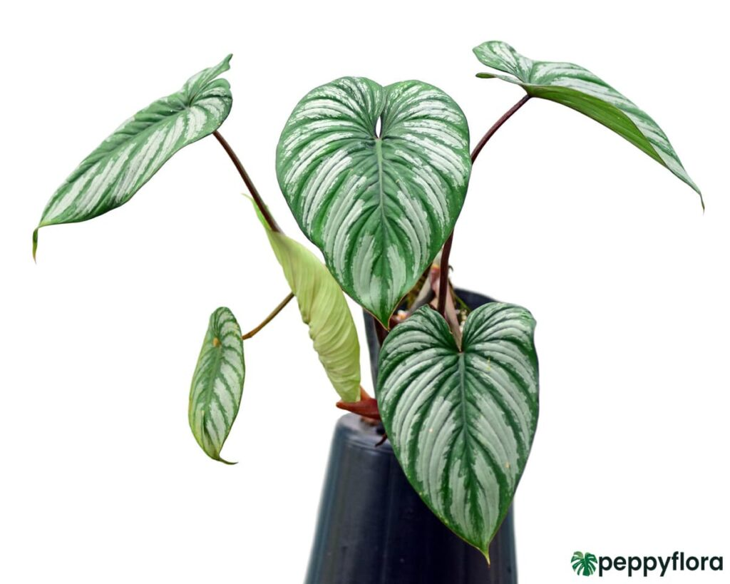 Philodendron-Mamei-Product-Peppyflora-02-Moz