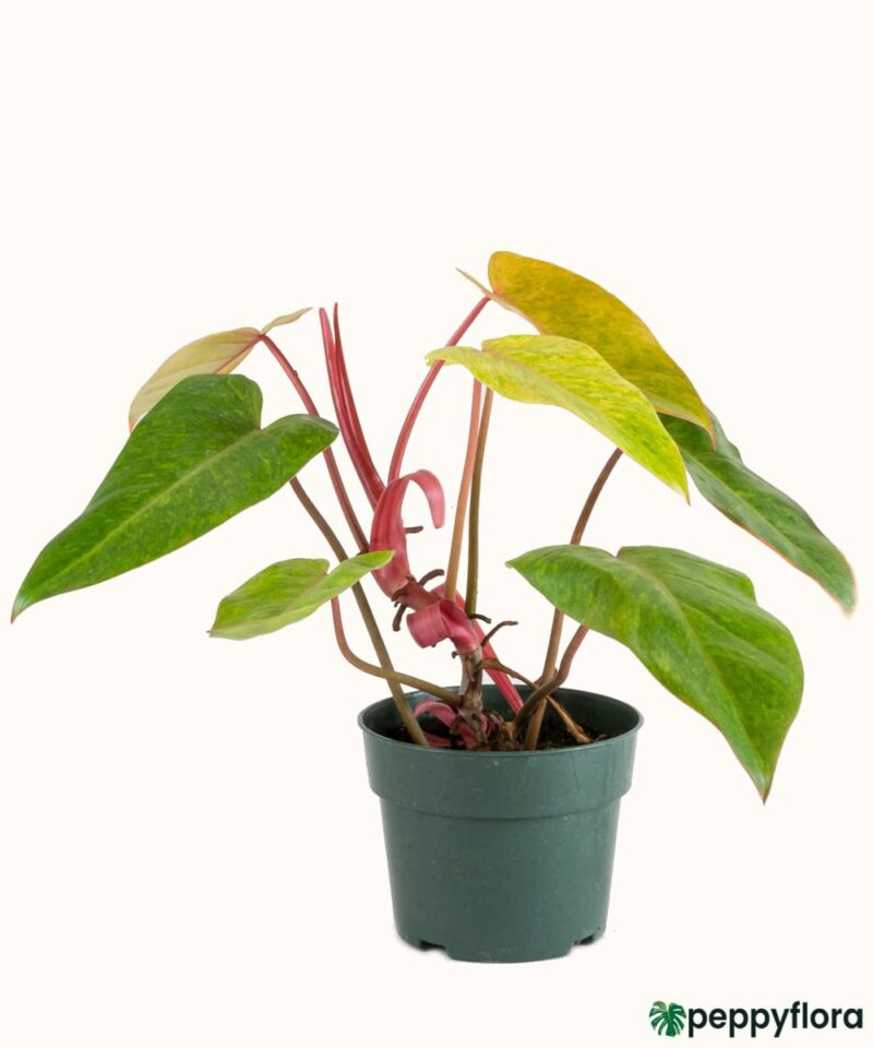 Philodendron-Painted-Lady-Product-Peppyflora-01-a-Moz