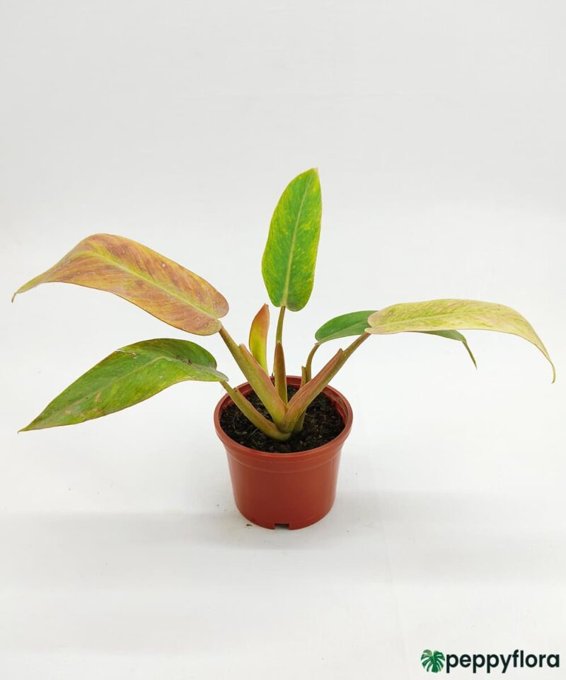 Philodendron-Painted-Lady-Product-Peppyflora-01-b-Moz