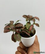 Red-Fittonia-Albivenis-Product-Peppyflora-01-a-Moz