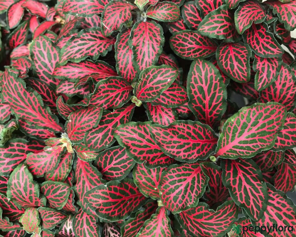 Red-Fittonia-Albivenis-Product-Peppyflora-02-Moz