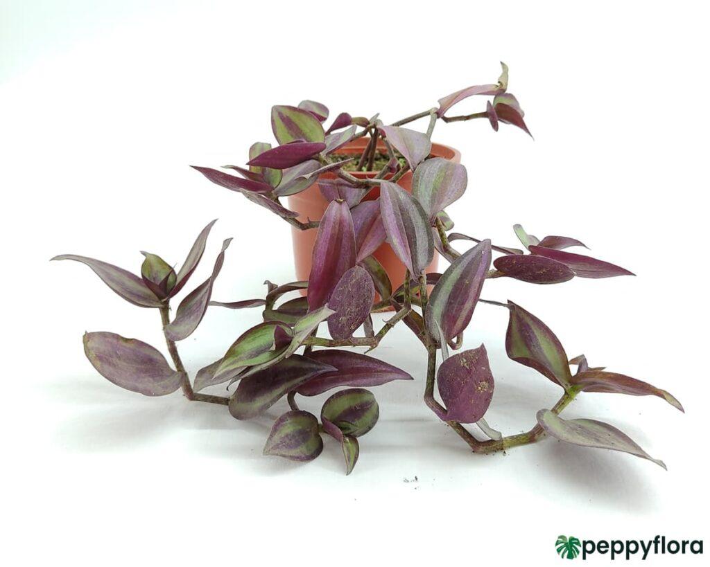 Tradescantia-Zebrina-Wandering-Jew-Product-Peppyflora-02-Moz
