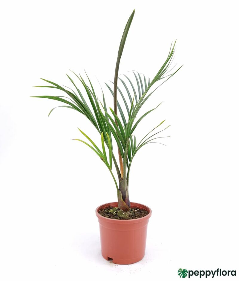 Triangle-Palm-Neodypsis-Decaryi-Product-Peppyflora-01-a-Moz