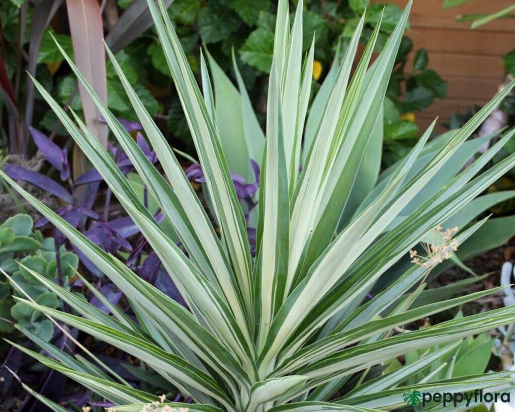 Yucca-Elephantipes-Silver-Star-Product-Peppyflora-02-Moz