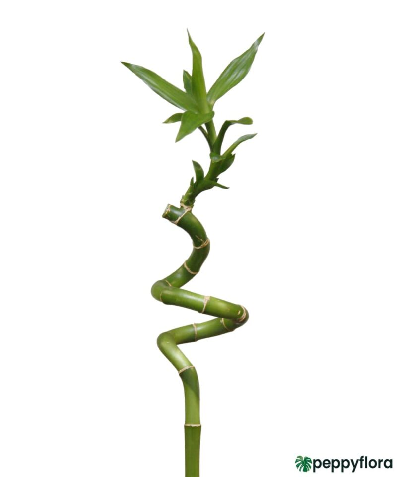 60-cm-Spiral-Stick-Lucky-Bamboo-Product-Peppyflora-01-a-Moz