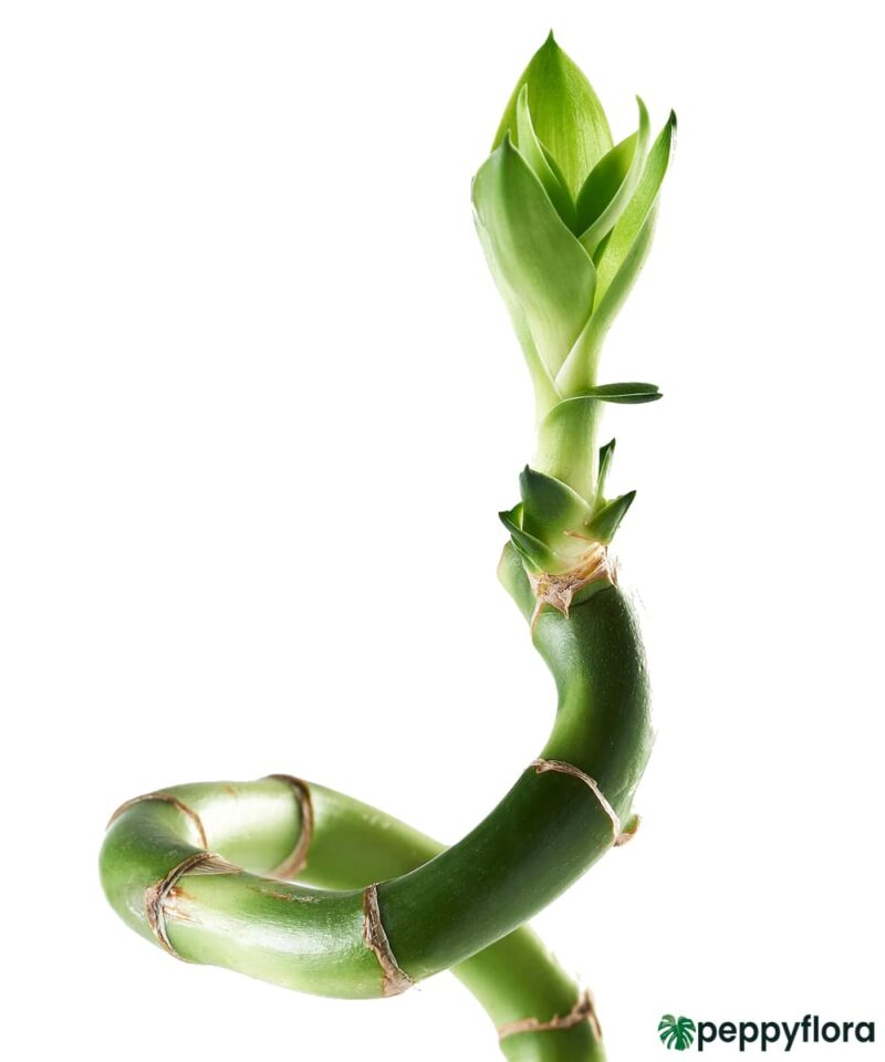 60-cm-Spiral-Stick-Lucky-Bamboo-Product-Peppyflora-01-b-Moz