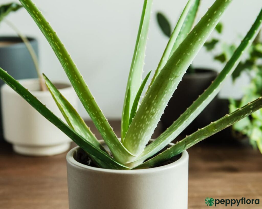 Aloe-Vera-Plant-Product-Peppyflora-02-Moz