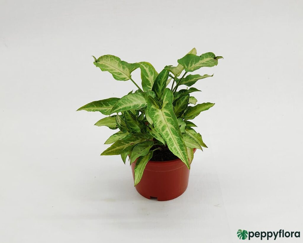 Arrowhead-Mini-Pixie-Product-Peppyflora-02-Moz