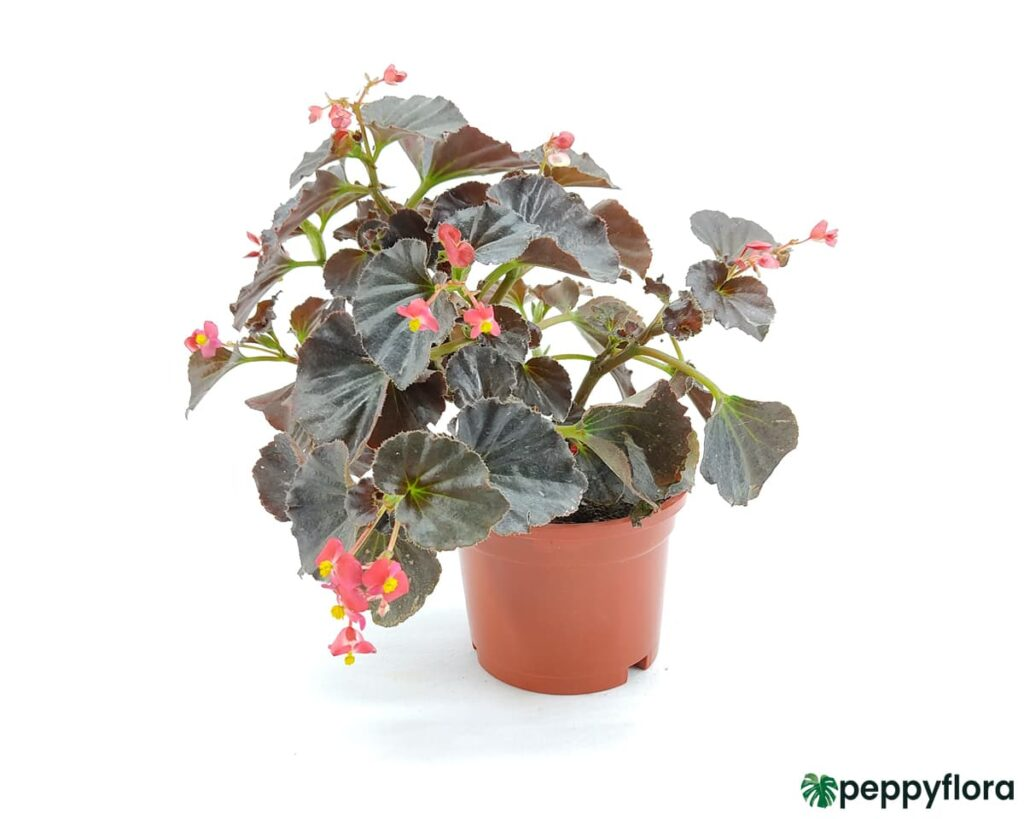 Bada-Boom-Scarlet-Begonia-Product-Peppyflora-02-Moz