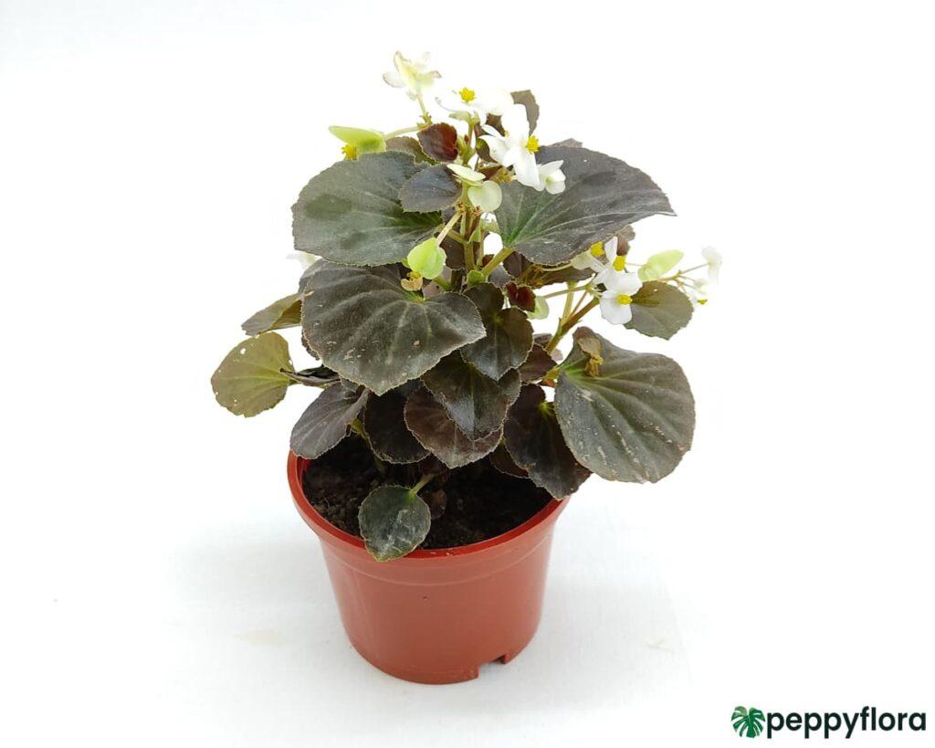 Bada-Boom-White-Begonia-Product-Peppyflora-02-Moz
