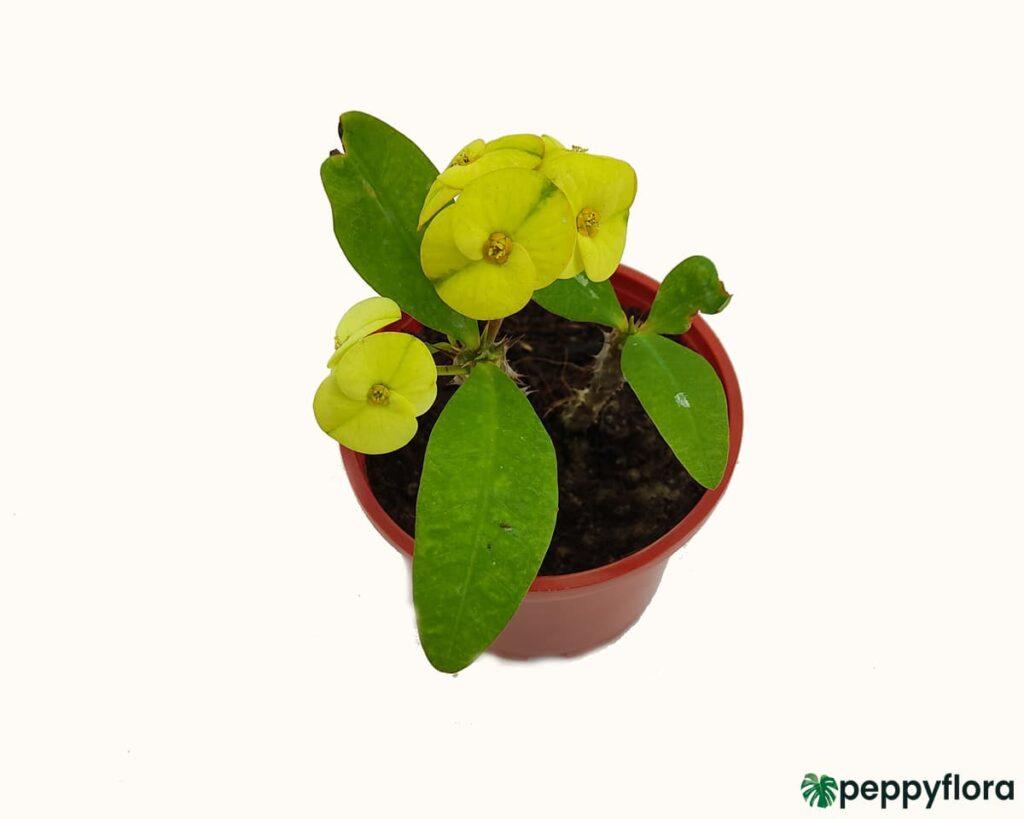 Euphorbia-Milii-Yellow-Product-Peppyflora-02-Moz