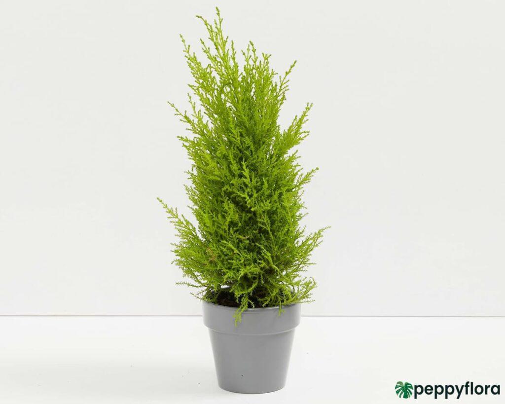 Lemon-Cypress-Product-Peppyflora-02-Moz