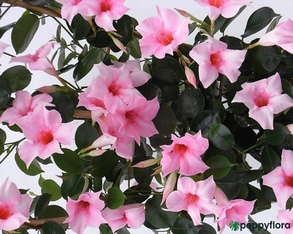 Mandevilla-Pink-Product-Peppyflora-02-Moz