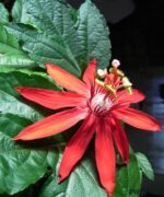 Passion-Flower-Red-Product-Peppyflora-01-a-Moz