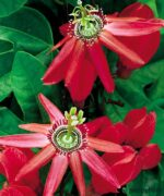 Passion-Flower-Red-Product-Peppyflora-01-b-Moz