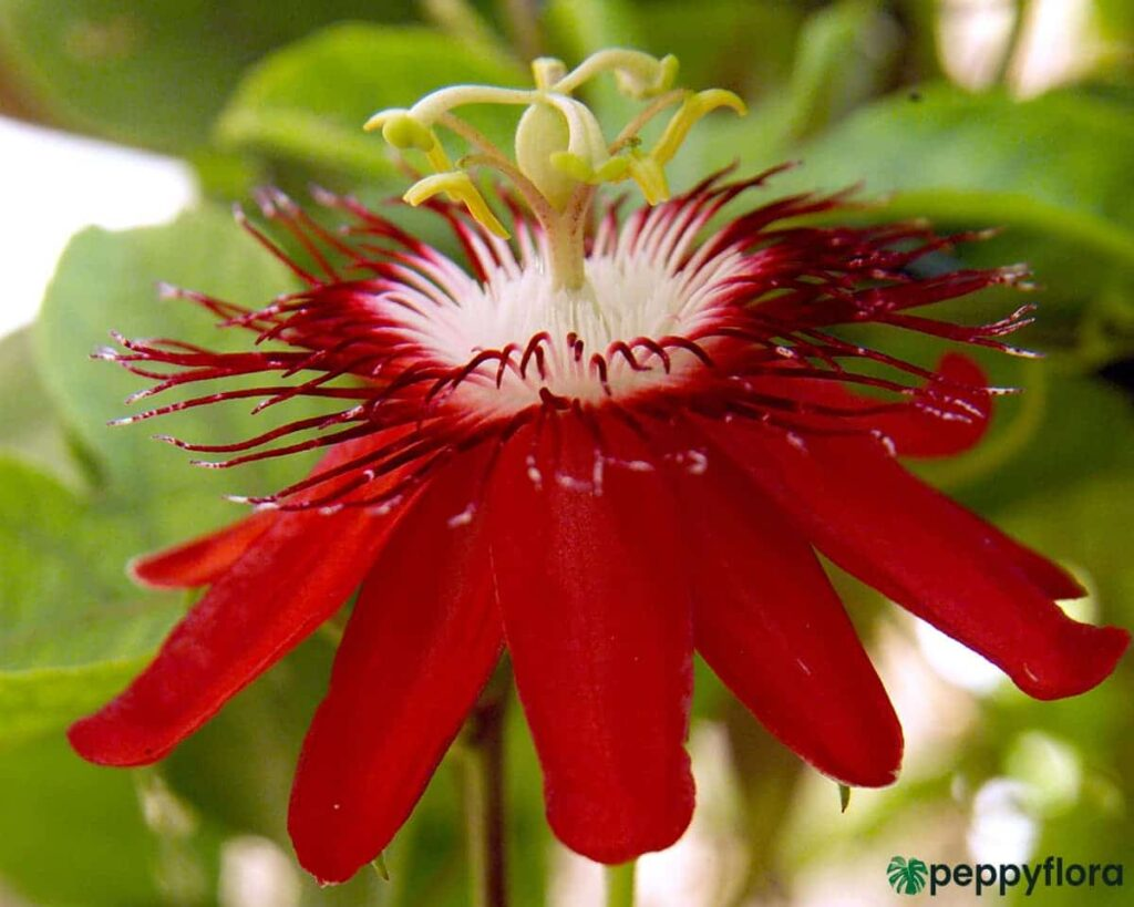 Passion-Flower-Red-Product-Peppyflora-02-Moz