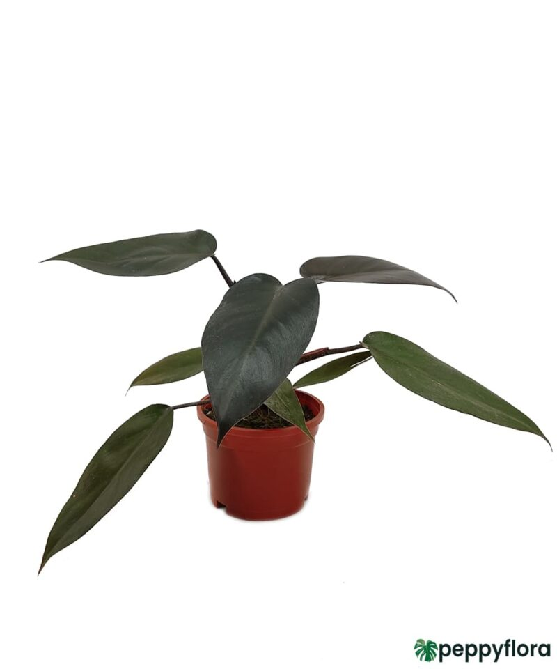 Philodendron-Black-Cardinal-Product-Peppyflora-01-a-Moz