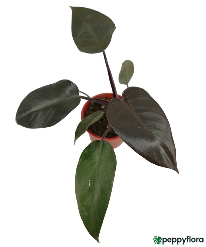 Philodendron-Black-Cardinal-Product-Peppyflora-01-b-Moz