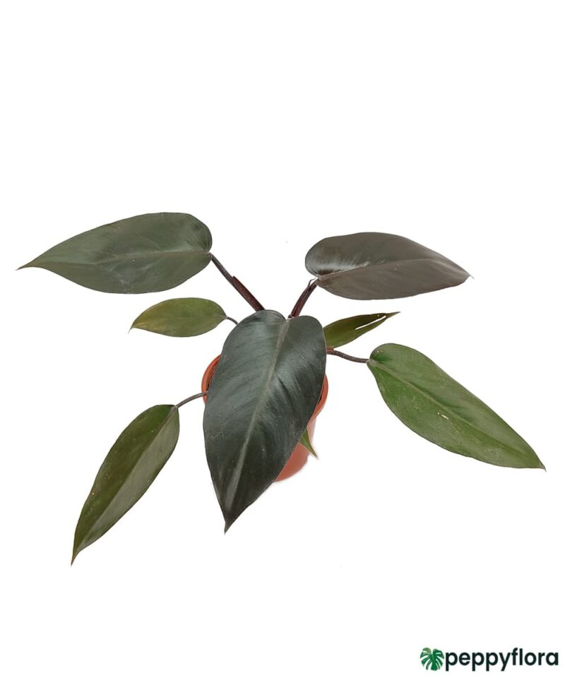 Philodendron-Black-Cardinal-Product-Peppyflora-01-c-Moz