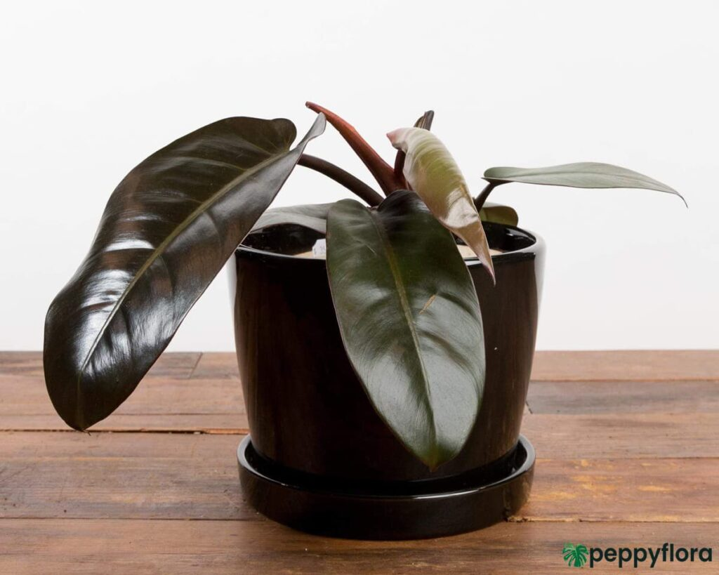 Philodendron-Black-Cardinal-Product-Peppyflora-02-Moz