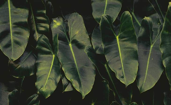 Philodendron-Cat-Peppyflora-01-Moz