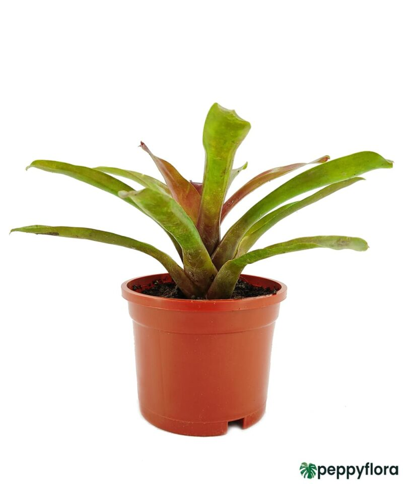 Red-And-Green-Bromeliad-Product-Peppyflora-01-a-Moz