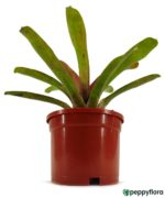 Red-And-Green-Bromeliad-Product-Peppyflora-01-c-Moz