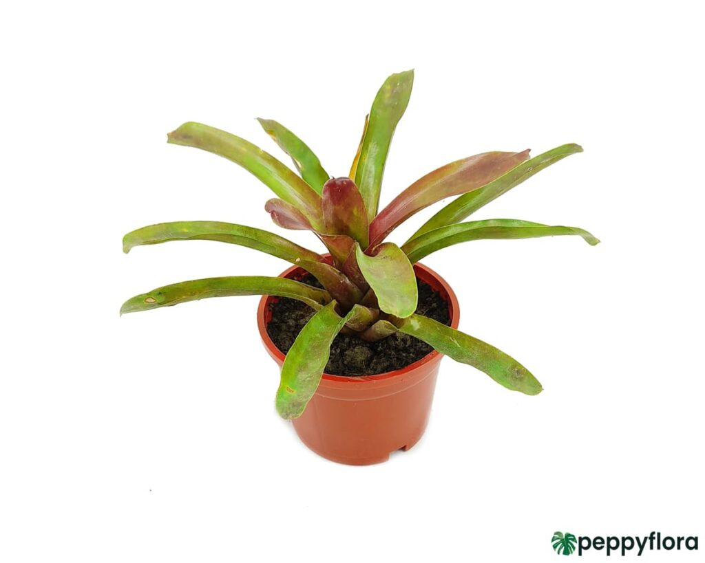 Red-And-Green-Bromeliad-Product-Peppyflora-02-Moz