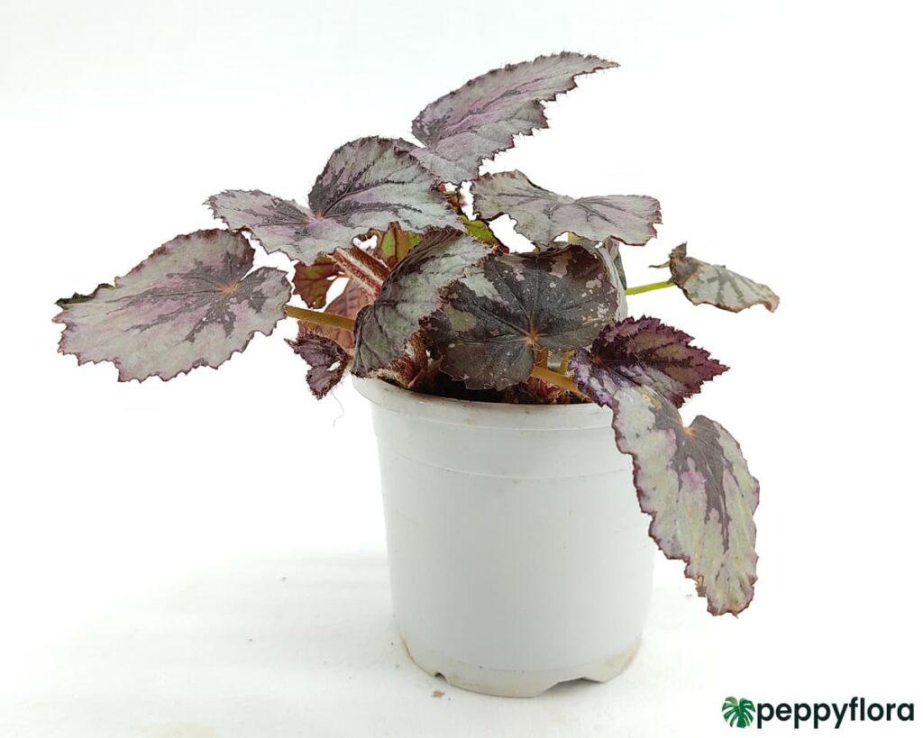 Rex-Begonia-Fireworks-Product-Peppyflora-02-Moz
