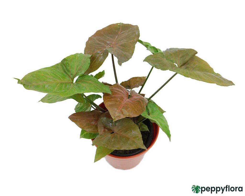 Syngonium-Maria-Allusion-Product-Peppyflora-02-Moz