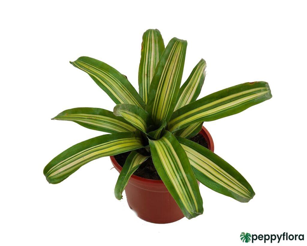 Variegated-Neoregelia-Bromeliad-Product-Peppyflora-02-Moz