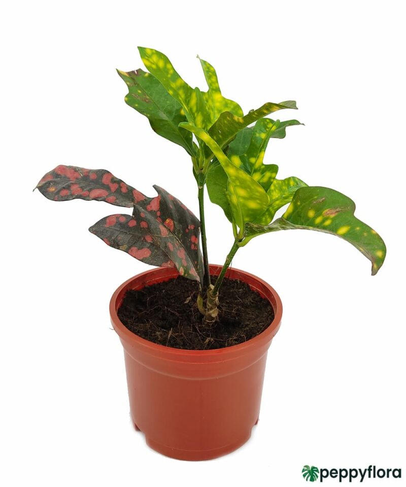 Croton-Magnificent-Duck-Foot-Product-Peppyflora-01-a-Moz