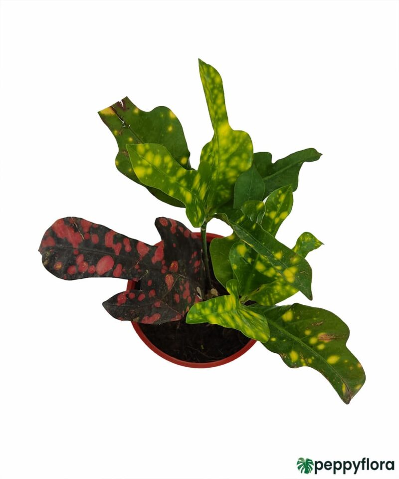 Croton-Magnificent-Duck-Foot-Product-Peppyflora-01-c-Moz