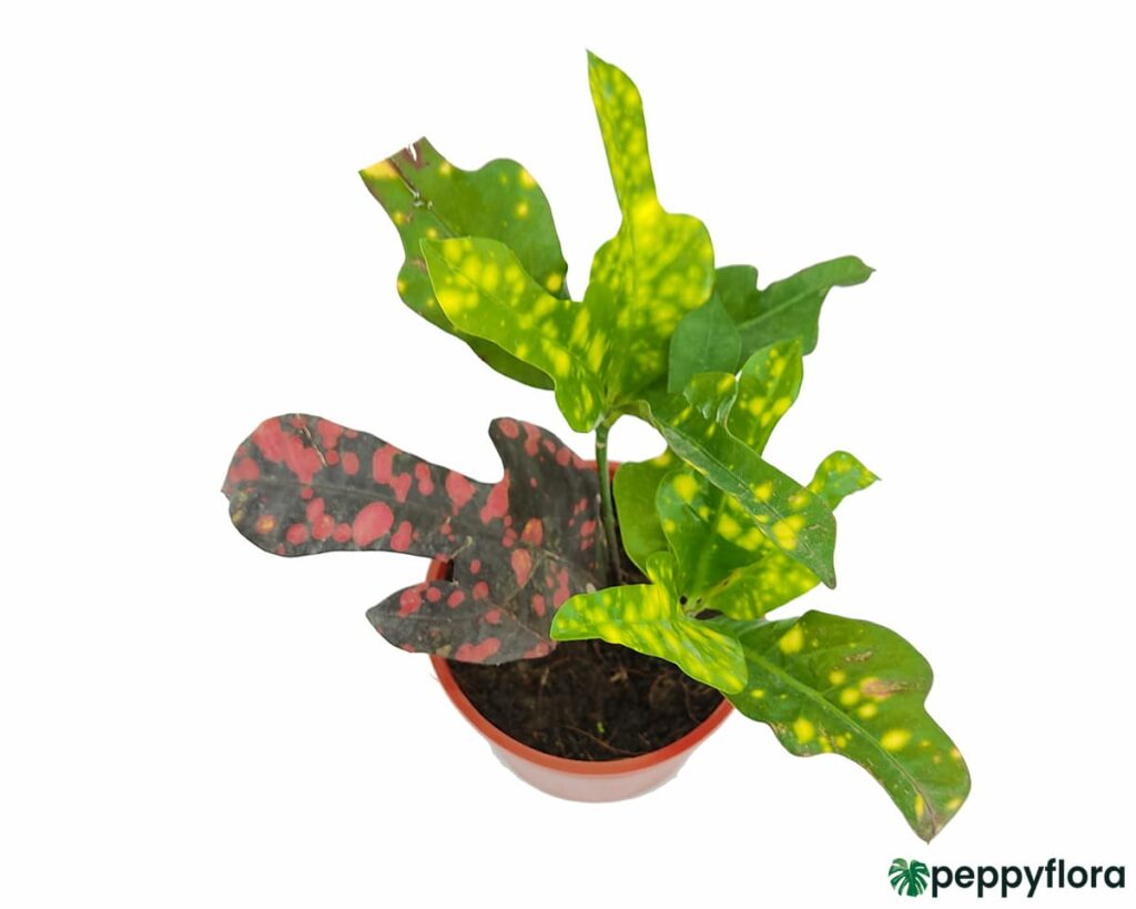 Croton-Magnificent-Duck-Foot-Product-Peppyflora-02-Moz