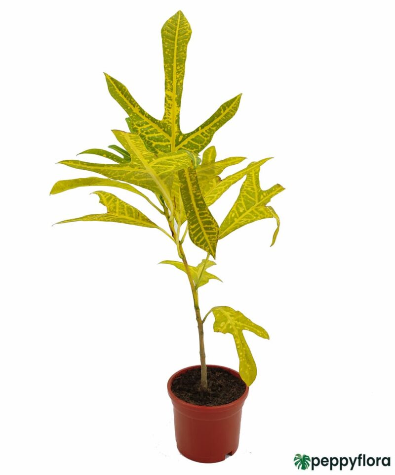 Croton-Yellow-Duck-Foot-Trishul-Plant-Product-Peppyflora-01-a-Moz