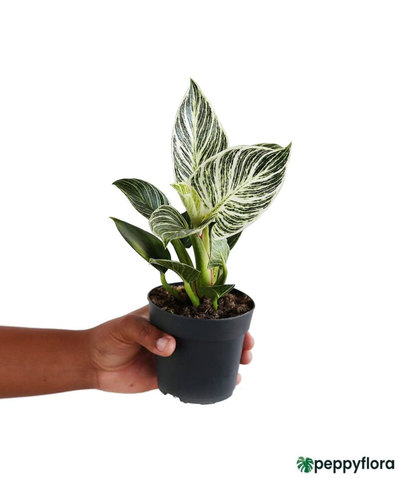 Philodendron-Birkin-Product-Peppyflora-01-a-Moz
