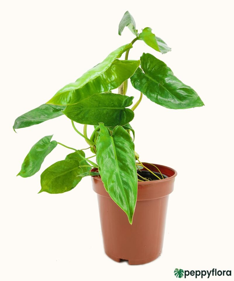 Philodendron-Kerala-Hybrid-Product-Peppyflora-01-a-Moz