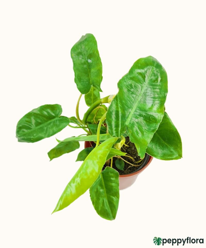 Philodendron-Kerala-Hybrid-Product-Peppyflora-01-b-Moz
