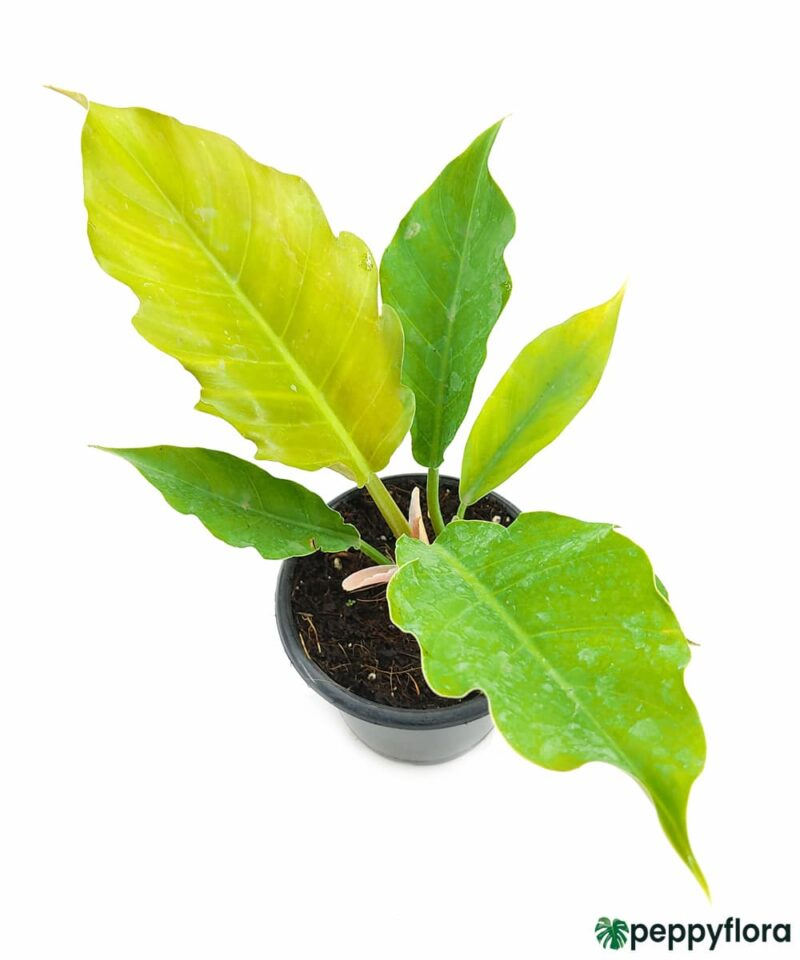 Philodendron-Pluto-Product-Peppyflora-01-c-Moz